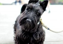 Best Dog Crates For Scottish Terriers