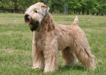Best Dog Crates For Soft Coated Wheaten Terriers