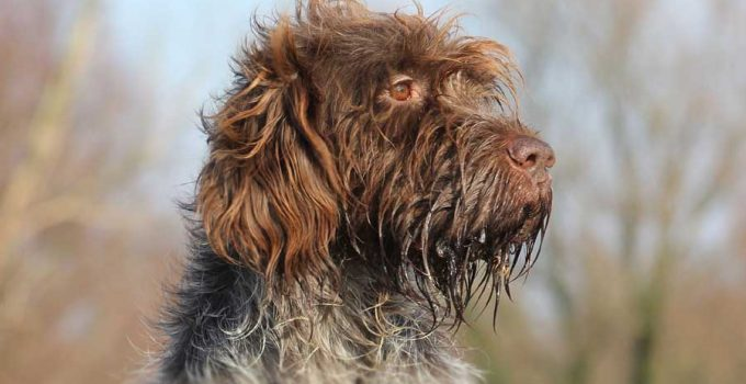 Best Dog Crates For Wirehaired Pointing Griffons