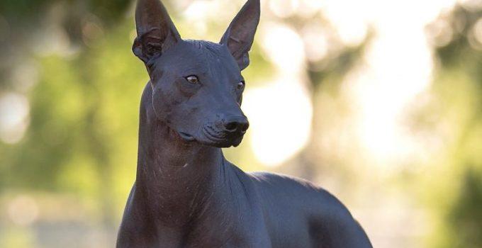 Best Dog Crates For Xoloitzcuintlis