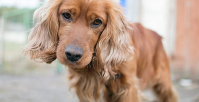 Best Dog Foods For English Cocker Spaniels