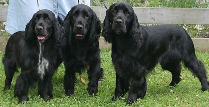 Best Dog Foods For Field Spaniels