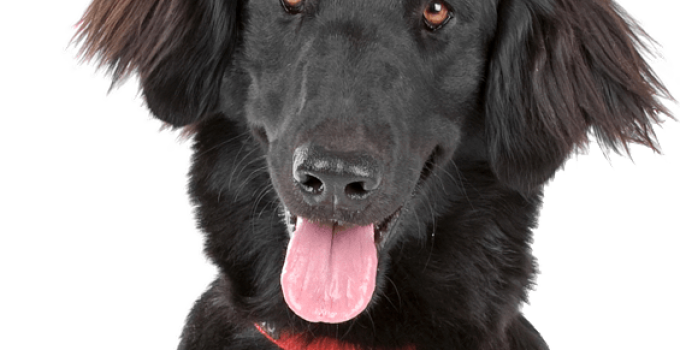Best Dog Foods For Flat Coated Retrievers