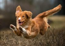 5 Best Dog Foods for Nova Scotia Duck Tolling Retrievers (Reviews Updated 2021)