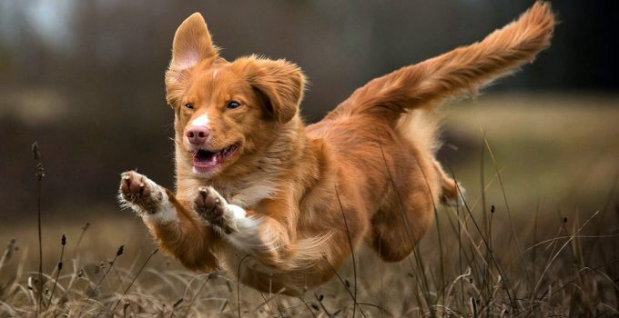Best Dog Foods For Nova Scotia Duck Tolling Retrievers