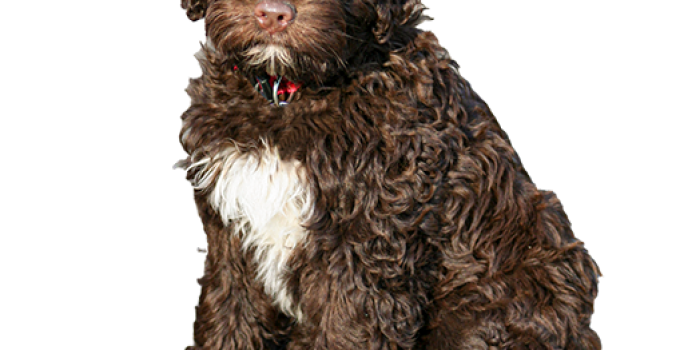 Best Dog Foods For Portuguese Water Dogs