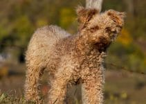 Best Dog Foods For Pumi