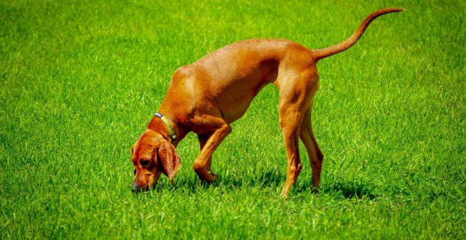 Best Dog Foods For Redbone Coonhounds