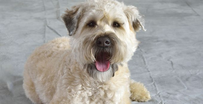 Best Dog Foods For Soft Coated Wheaten Terriers
