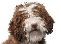Best Dog Foods For Spanish Water Dogs