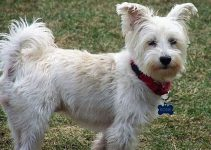 Best Dog Foods For West Highland White Terriers