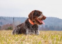 5 Best Dog Foods for Wirehaired Pointing Griffons (Reviews Updated 2021)