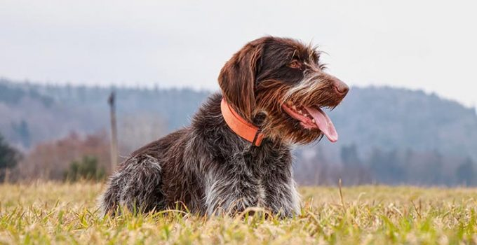 Best Dog Foods For Wirehaired Pointing Griffons