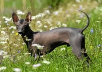 Best Dog Foods For Xoloitzcuintlis