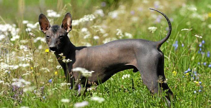Best Dog Foods For Xoloitzcuintlis