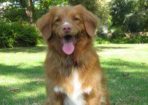 Best Dog Harnesses For Nova Scotia Duck Tolling Retrievers