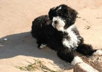 5 Best Dog Harnesses for Portuguese Water Dogs (Reviews Updated 2021)