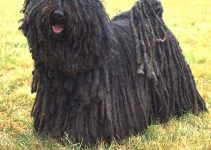 Best Dog Harnesses For Puli