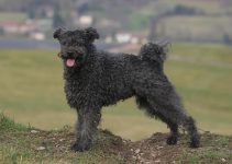 Best Dog Harnesses For Pumi
