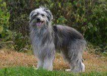 Best Dog Harnesses For Pyrenean Shepherds