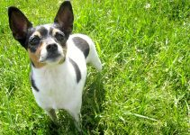 5 Best Dog Harnesses for Rat Terriers (Reviews Updated 2021)