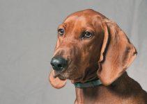 Best Dog Harnesses For Redbone Coonhounds