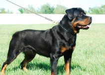 5 Best Dog Harnesses for Rottweilers (Reviews Updated 2021)