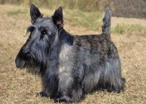 Best Dog Harnesses For Scottish Terriers