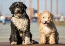 Best Dog Harnesses For Spanish Water Dogs