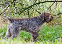 5 Best Dog Harnesses for Wirehaired Pointing Griffons (Reviews Updated 2021)