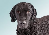 5 Best Dog Muzzles for Curly Coated Retrievers (Reviews Updated 2021)