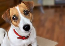 Best Dog Muzzles For Jack Russell Terriers