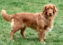 5 Best Dog Muzzles for Nova Scotia Duck Tolling Retrievers (Reviews Updated 2021)