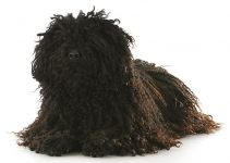 Best Dog Muzzles For Puli