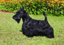 Best Dog Muzzles For Scottish Terriers