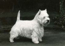 5 Best Dog Muzzles for West Highland White Terriers (Reviews Updated 2021)