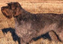 Best Dog Muzzles For Wirehaired Pointing Griffons