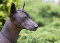 Best Dog Muzzles For Xoloitzcuintlis