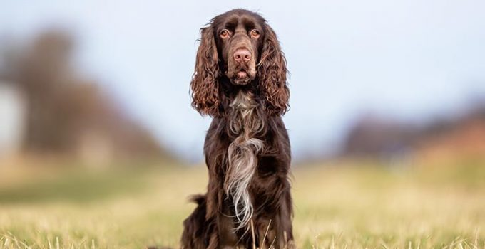 Best Dog Shampoos For Field Spaniels