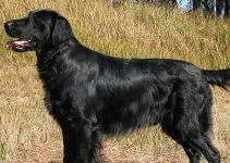 5 Best Dog Shampoos for Flat Coated Retrievers (Reviews Updated 2021)