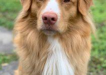 5 Best Dog Shampoos for Nova Scotia Duck Tolling Retrievers (Reviews Updated 2021)
