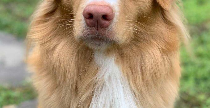 Best Dog Shampoos For Nova Scotia Duck Tolling Retrievers