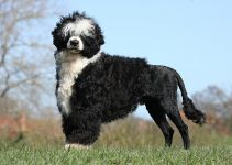 Best Dog Shampoos For Portuguese Water Dogs