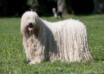 Best Dog Shampoos For Puli