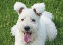 5 Best Dog Shampoos for Pumi (Reviews Updated 2021)