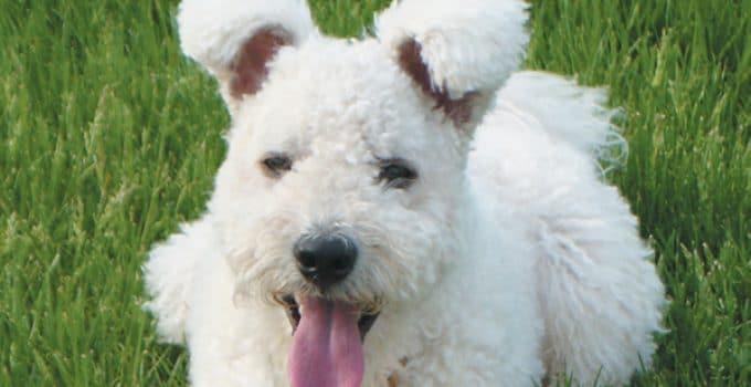 Best Dog Shampoos For Pumi