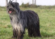 5 Best Dog Shampoos for Pyrenean Shepherds (Reviews Updated 2021)