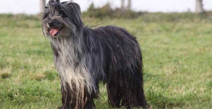 Best Dog Shampoos For Pyrenean Shepherds