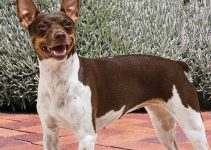 Best Dog Shampoos For Rat Terriers