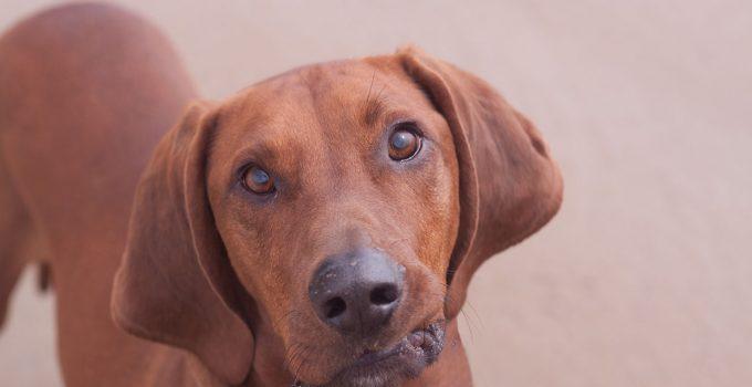 Best Dog Shampoos For Redbone Coonhounds